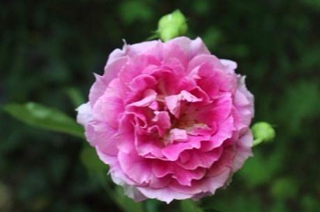 【宇部】我が家の薔薇ネタです。